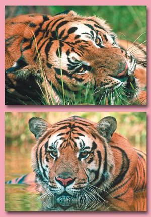 Serie 12071 - tijgers